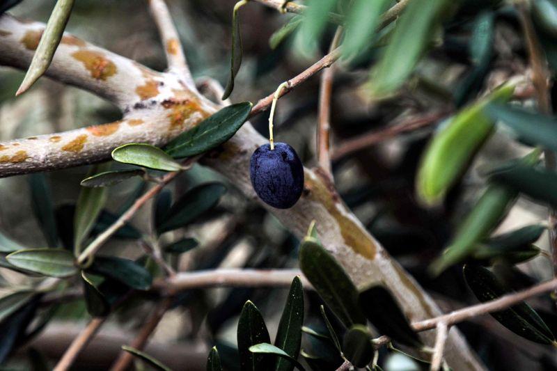 Syrian olive trees put down roots in Kurdish Iraq