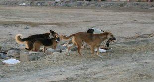 هجوم كلاب شاردة يتسبب بنفوق أغنام وأبقار في السويداء