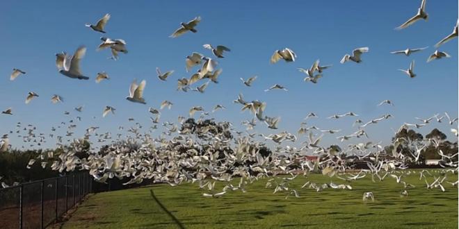 سقوط عشرات الطيور النافقة من السماء يثير الهلع في أستراليا