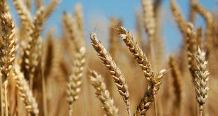 """مدير """"الحبوب"""": حصاد القمح سوف يتأخر والحرائق"""