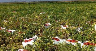 الروزنامة الزراعية في سورية هي التي تحسم الفرق في الأسعار
