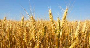 من سرق 230 ألف طن من القمح الحكومي؟