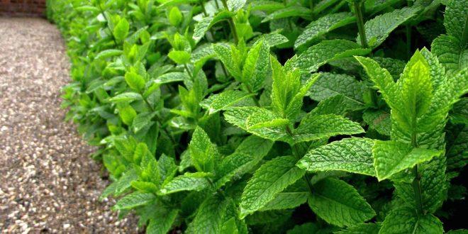 زراعة النعناع : 10 حيل لكي تنجحوا في زراعته في المنزل