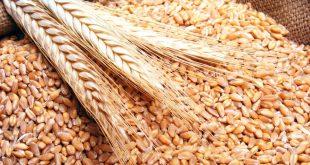 إكثار البذار تستلم القمح الإكثاري من الفلاحين لهذا العام