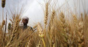 لأول مرة منذ سبع سنوات أهالي الغاب يحصدون محصول القمح بأمان وطمأنينة