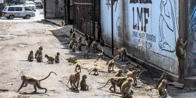 """سكان مدينة تايلاندية """"مساجين"""".. بسبب القردة"""