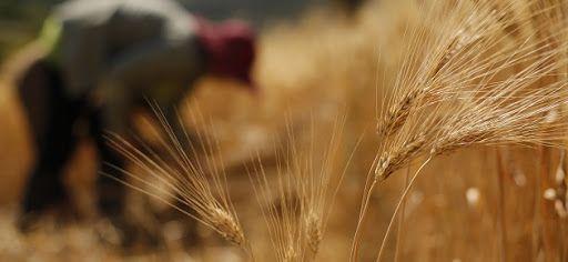 ميليشيا «قسد» تواصل منع الأهالي من بيع القمح للحكومة السورية!