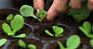 العلماء يجدون البلاستيك في نباتات الجرجير