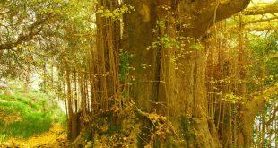 أشجار الجنكة لا تموت إذا تقدم بها العمر