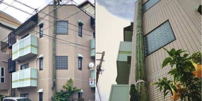 شجرة ضخمة تثير دهشة سكان مدينة يابانية
