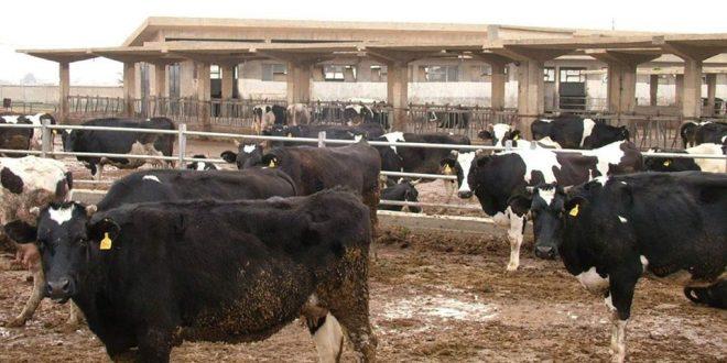 500 رأس من الأبقار نفقت في طرطوس بسبب الجدري وضبط شاحنة تقلّ بقرة نافقة تتجه إلى حمص