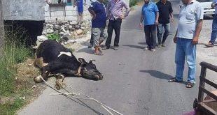الأبقار تموت في الشوارع بسبب الجدري في طرطوس