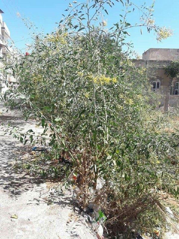 انتشار نبات التبغ الأزرق السام بكثرة في حمص