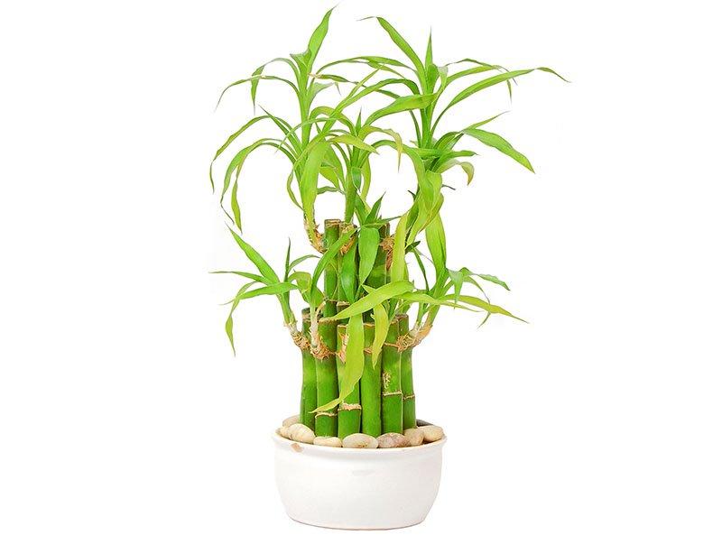 Lucky Bamboo Tree 0