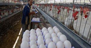 أسعار البيض إلى ارتفاع