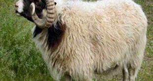 خروف العيد بنصف مليون ليرة