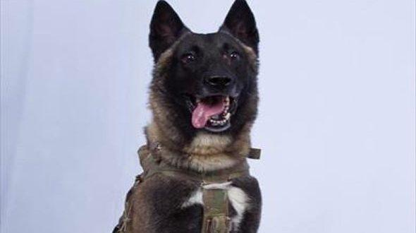 أقوى كلب في العالم يهرب من ابن آوى