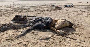 العثور على مخلوق غريب بطول 15 قدمًا في بريطانيا (صور)