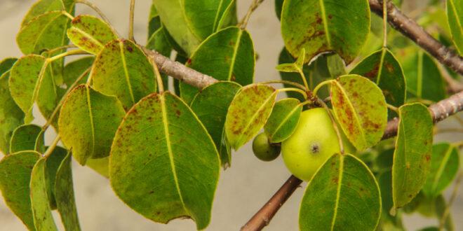تفاحة الموت.. هل تعرفون ما هي أخطر شجرة في العالم وأين توجد؟