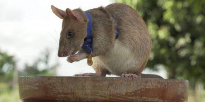 فأر يحصل على ميدالية ذهبية.. ما الذي حققه؟