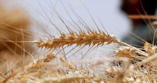 مخابز: انخفاض إنتاج المطاحن لعدم وصول توريدات القمح الطري