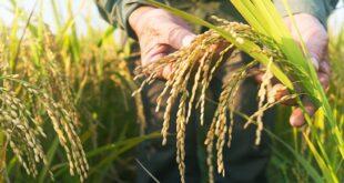 هيئة البحوث تستستفيد من مشروع الرز الهوائي في صناعة الأعلاف و السيريلاك