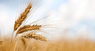 وزير الزراعة: زراعة أكبر مساحة ممكنة من القمح هذا العام