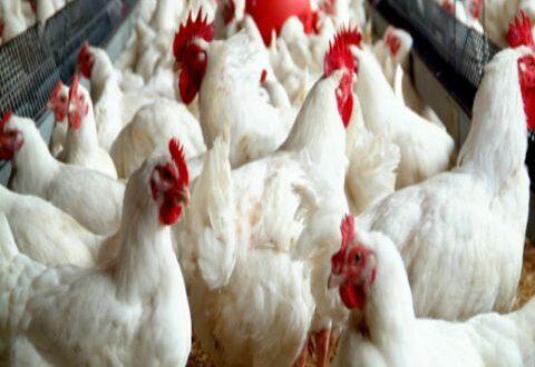 وزير الزراعة الجديد .. خطة سريعة لخفض أسعار الفروج والبيض 15 بالمئة