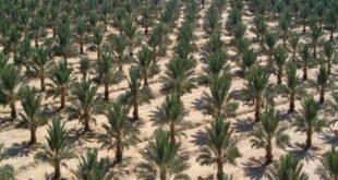 سورية.. دراسة لزراعة 5 ملايين نخلة تعود بمليار دولار