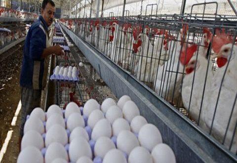 وزارة الزراعة تصرح بشأن لحم الفروج و البيض