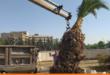 دمشق.. غابة نخيل مثمر على أوتوستراد المزة (صور)