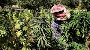 """زراعة """"الحشيش"""" تنافس زراعة القمح في مناطق سيطرة """"قسد"""" شرقي سوريا"""