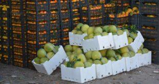 الحكومة تعتمد خطة لتسويق محصول الحمضيات