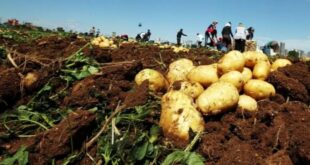 منع تصدير البطاطا حتى نيسان القادم.. وتوقعات بوفرة المادة في الأسواق