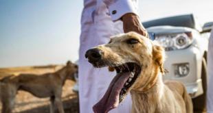 سوريون يصدرون الكلاب السلوقية للخليج: ثمن الكلب 4 مليون ليرة!