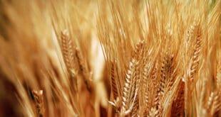 وزير الزراعة: ندعو لزراعة كل شبر من القمح