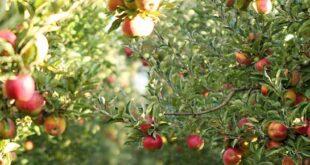 مصر ترفض 500 براد تفاح سوري والفلاحون يشتكون
