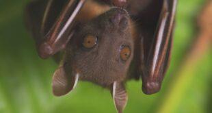 مفاجأة صادمة.. ظهور فيروس قاتل جديد تنقله الخفافيش يُثير قلق العلماء