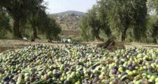 رحلة زيت الزيتون السوري.. من عفرين إلى الولايات المتحدة عبر تركيا