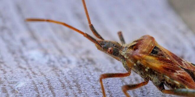كيف تتحقق من وجود حشرات بق الفراش في منزلك؟