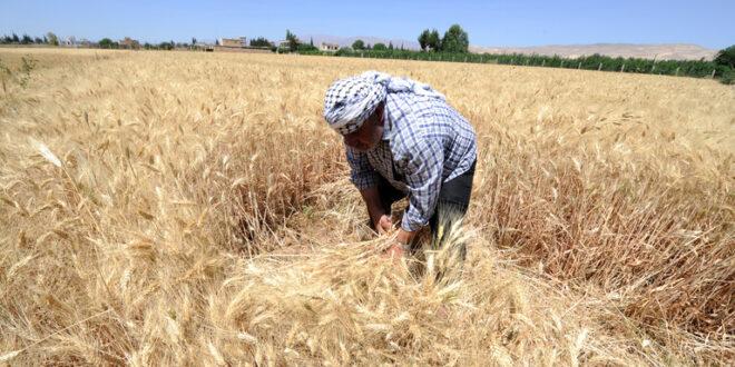 سوريا: مخاوف على محصول القمح.. والسبب؟