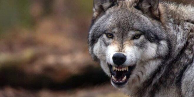 رجل يخنق ذئبا ضاريا بيديه العاريتين بعد أن هاجم كلابه وحصانه... فيديو