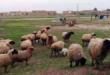 """الجفاف يضرب """"الجزيرة السورية"""".. أضرار هائلة في المحاصيل وسوق المواشي"""