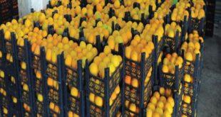 إنتاج سورية من الحمضيات ينخفض 300 ألف طن