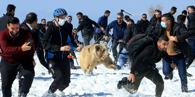 الدببة البنية السورية تهاجم الناس في العراق