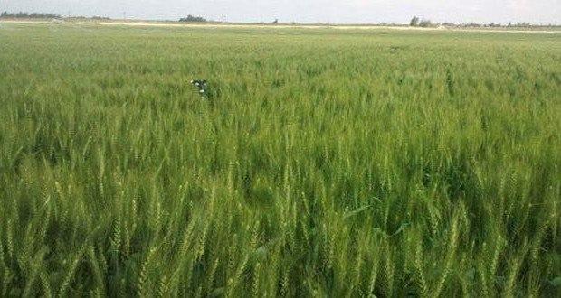 على ذمة الوزارة.. الانتهاء من زراعة 93 بالمئة من محصول القمح