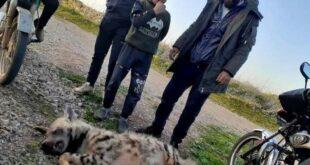 ضبع يقتل صعقا بالكهرباء بريف حمص
