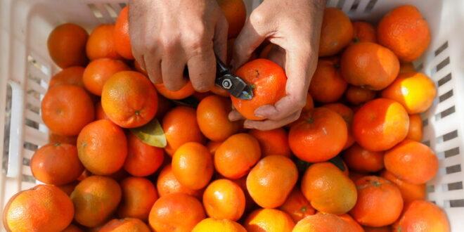 4 مسافرين يتناولون 30 كغ برتقال كي لا يدفعوا رسوم عليها في المطار!