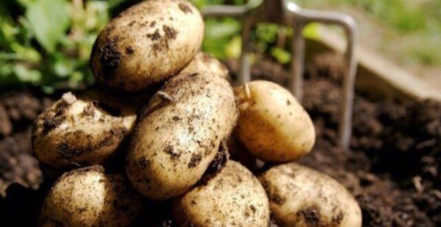 توقعات بارتفاع أسعار البطاطا