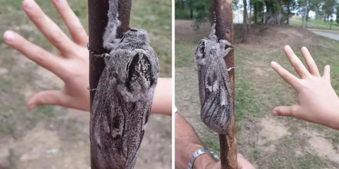 فراشة عملاقة تثير الرعب في أستراليا.. طولها 15 سم وتزن 30 غرام